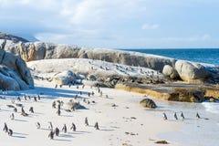 Troep van kleine Afrikaanse pinguïnen bij Keistrand Stock Afbeeldingen