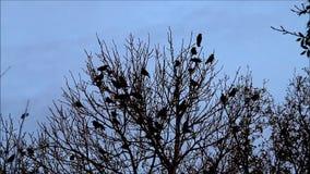 troep van kraaien op boom stock video