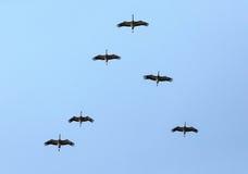 Troep van kranen in de hemel Stock Foto