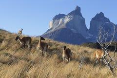Troep van lama op flank van heuvel in Torres del Paine, Chili Patagonië stock foto's