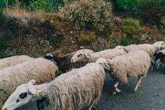 Troep van langharige schapen met kale hoofden die de straat op het Eiland Kreta kruisen Stock Fotografie