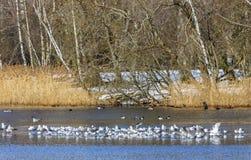 Troep van Meeuwen die op het meer in de lente rusten stock fotografie