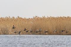 Troep van migrerende eenden op het water Stock Fotografie