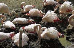 Troep van nestelende flamingo's in DIERENTUIN van Jihlava in Tsjechische republiek Stock Foto