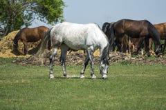 Troep van paarden die op het gebied weiden stock foto's