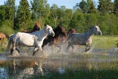 Troep van paarden in plonsen Stock Afbeeldingen
