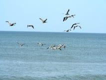 Troep van pelikanen Stock Foto