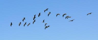 Troep van pelikanen blauwe hemel Royalty-vrije Stock Foto's