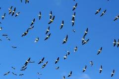 Troep van Pelikanen in de hemel Stock Afbeelding
