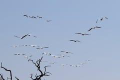 Troep van pelikanen die in het nationale park van Chobe vliegen Stock Fotografie