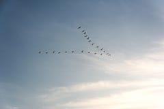 Troep van Pelikanen die in vorming in heldere blauwe hemel vliegen Stock Foto's