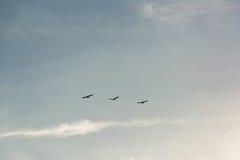 Troep van Pelikanen die in vorming in heldere blauwe hemel vliegen Royalty-vrije Stock Afbeeldingen