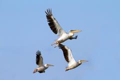 Troep van pelikanen het vliegen Stock Foto's
