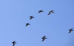 Troep van pelikanen het vliegen Stock Afbeeldingen