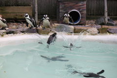 Troep van pinguïnen Stock Foto