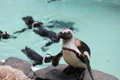Troep van pinguïnen Royalty-vrije Stock Foto