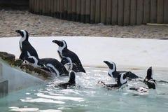 Troep van pinguïnen Stock Afbeeldingen