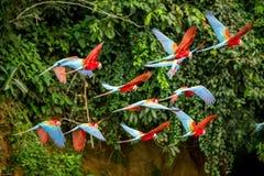 Troep van rode papegaai tijdens de vlucht Ara die, groene vegetatie op achtergrond vliegen Rode en groene Ara in tropisch bos, Pe stock afbeeldingen