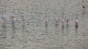 Troep van roze flamingo's in een aard stock footage