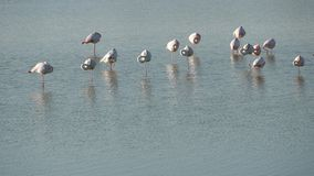 Troep van roze flamingo's in een aard stock video
