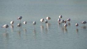Troep van roze flamingo's in een aard stock videobeelden