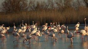Troep van roze flamingo's op meer, phoenicopterus, mooie witte rozeachtige vogel in vijver, watervogel in zijn milieu, Camargue,  stock video
