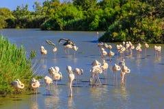 Troep van roze flamingo'szitstok bij zonsondergang Royalty-vrije Stock Foto's