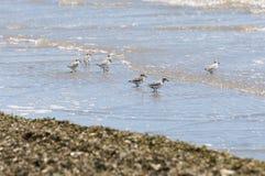 Troep van Sanderling, alba Calidris royalty-vrije stock foto's