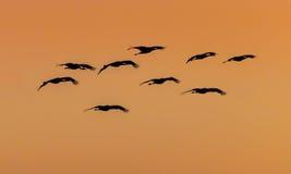 Troep van Sandhill-kranen in zonsonderganghemel van Bosque Del Apache Stock Afbeelding