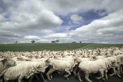 Troep van schapen Stock Foto's