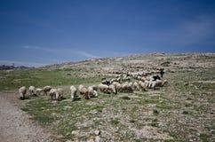 Troep van schapen stock afbeelding