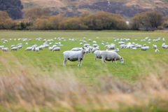 Troep van schapen Royalty-vrije Stock Fotografie