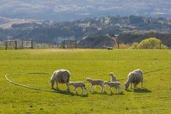 Troep van schapen Stock Afbeeldingen