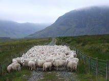 Troep van schapen Royalty-vrije Stock Foto's