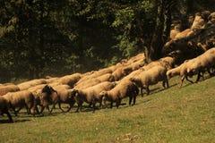 Troep van schapen Royalty-vrije Stock Foto