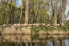 Troep van schapen in België stock foto
