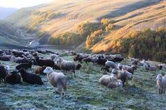 Troep van schapen in bergen Royalty-vrije Stock Foto's