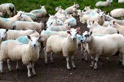 Troep van schapen bij een boerenerf Stock Fotografie