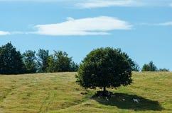 Troep van schapen bij grote vijgeboomschaduw op heuvel Stock Fotografie