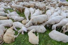 Troep van schapen in Corvara op Badia in het Dolomiet stock fotografie