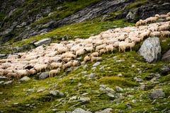 Troep van schapen in de bergen stock fotografie