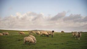 Troep van schapen in de Lentezonneschijn in Engels La van het landbouwbedrijfplatteland Royalty-vrije Stock Foto's