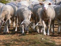 Troep van schapen, de Provence Stock Afbeelding