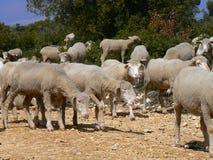 Troep van schapen, de Provence Stock Foto