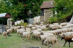 Troep van schapen in de weide Royalty-vrije Stock Foto's