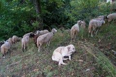 Troep van schapen in de weide Stock Foto's
