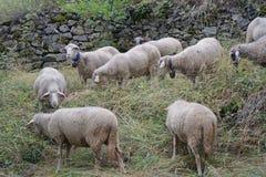 Troep van schapen in de weide Stock Foto