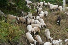 Troep van schapen in de weide Royalty-vrije Stock Fotografie