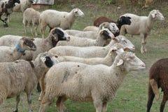 Troep van schapen in de weide Stock Afbeeldingen