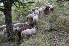 Troep van schapen in de weide, dichtbij het dorp Stock Afbeelding
